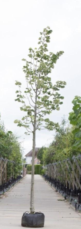 Zilverlinde Tilia tomentosa Brabant h 350 cm st. omtrek 12 cm