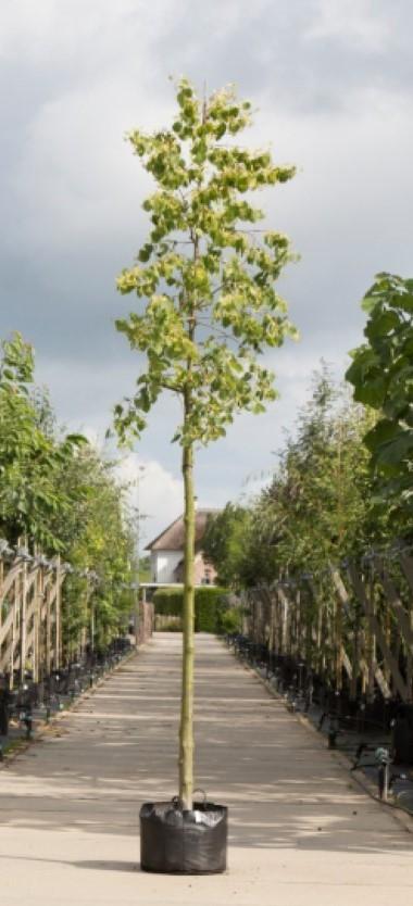 Gewimperde Linde Tilia henryana h 450 cm st. omtrek 16 cm