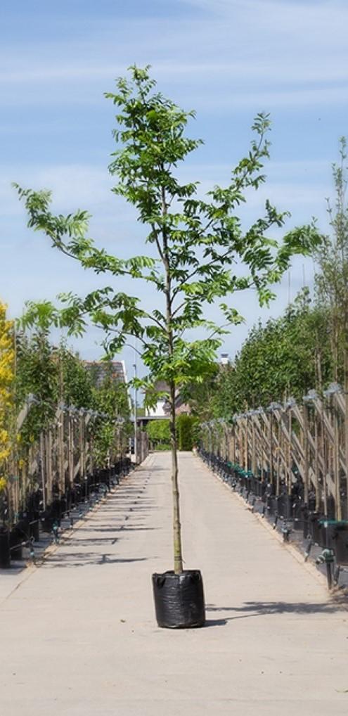 Vleugelnoot Pterocarya fraxinifolia h 350 cm st. omtrek 12 cm