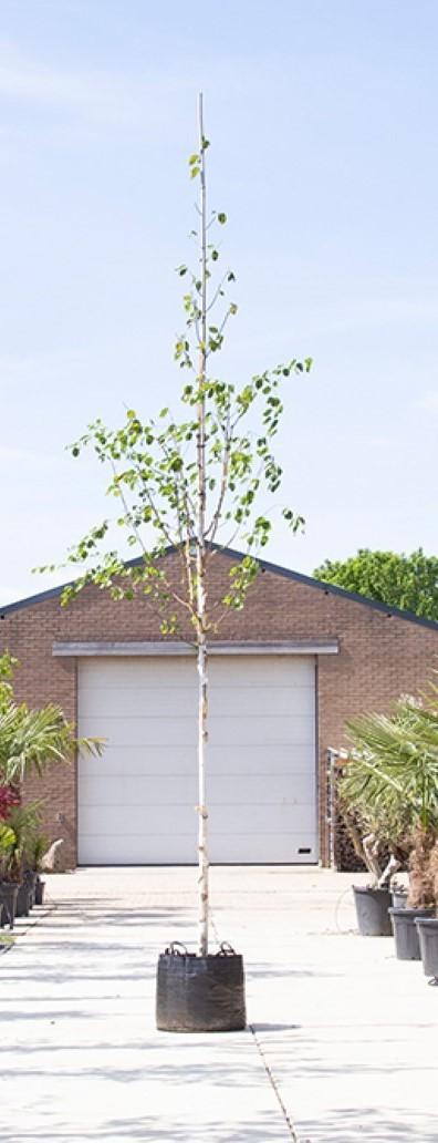 Witte himalaya berk Betula ut. jacquemontii h 450 cm st. omtrek 16 cm