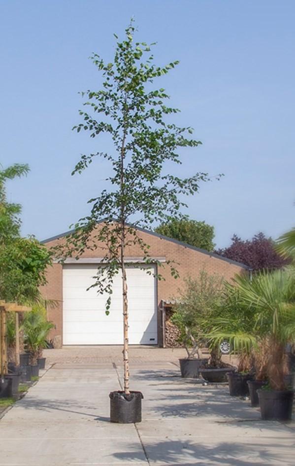 Zwarte Berk Betula nigra h 350 cm st. omtrek 12 cm