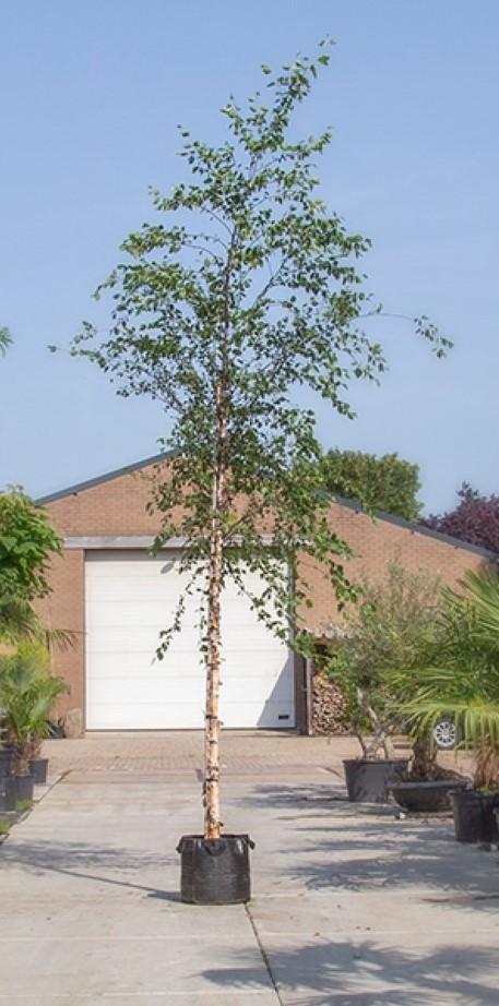 Zwarte Berk Betula nigra h 450 cm st. omtrek 16 cm