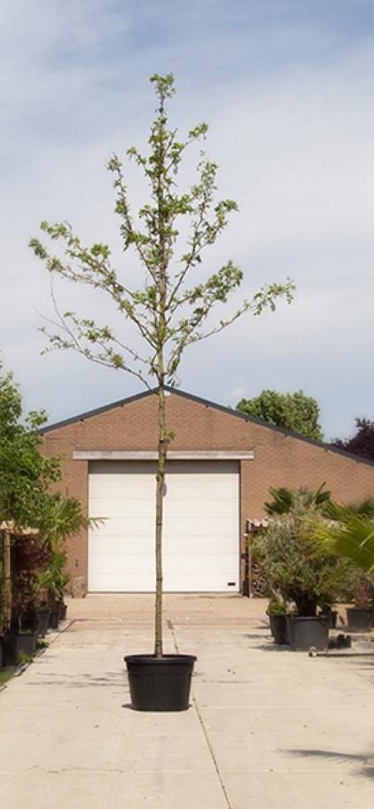 Valse Christusdoorn Gleditsia triac. Inermis h 450 cm st. omtrek 16 cm