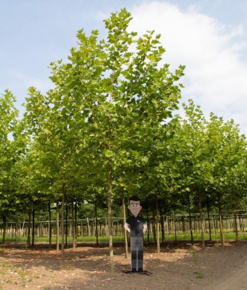 Platanenboom volgroeid Platanus hispanica h 625 cm st. omtrek 22,5 cm