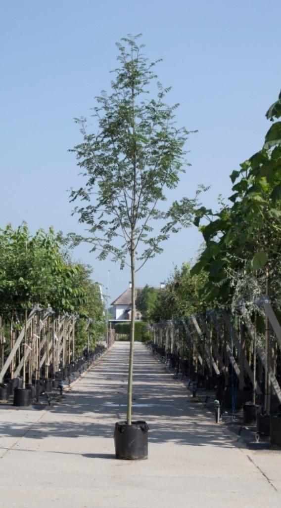 Lijsterbes Sorbus aucuparia h 350 cm st. omtrek 12 cm