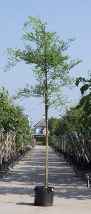 Honingboom Sophora japonica h 550 cm st. omtrek 19 cm