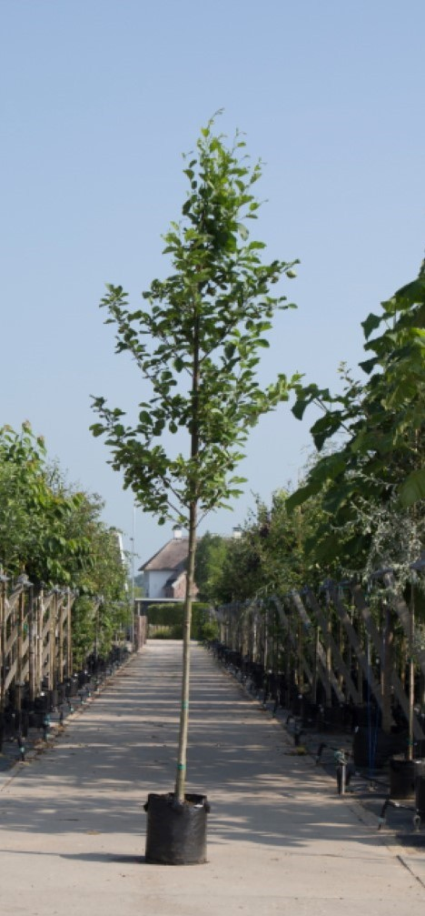 Gewone els Alnus glutinosa h 450 cm st. omtrek 16 cm