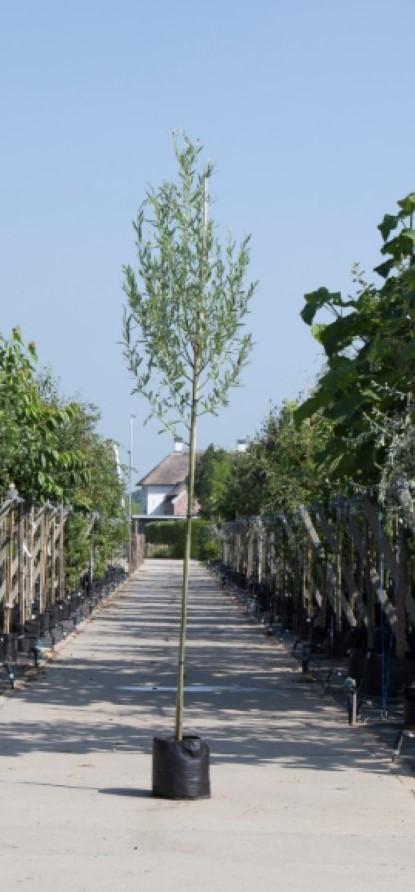 Witte wilg Salix alba h 450 cm st. omtrek 16 cm