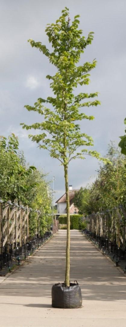 Ruwe iep Ulmus glabra h 350 cm st. omtrek 12 cm