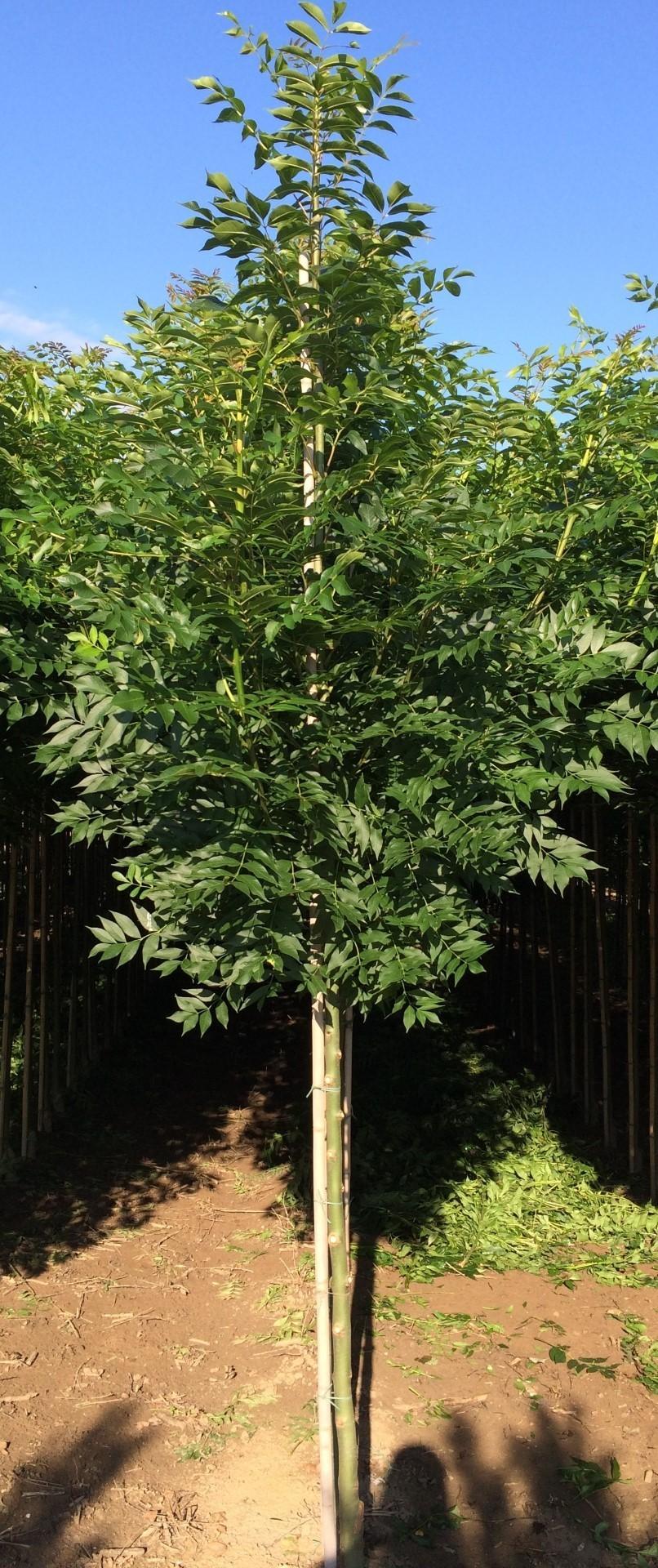 Gewone es Fraxinus ex. Westhofs Glorie h 450 cm st. omtrek 16 cm