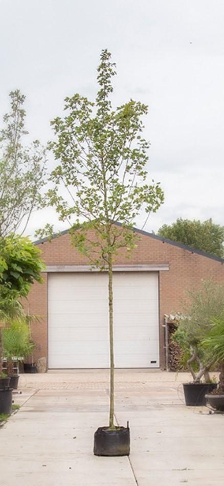 Rode veldesdoorn Acer campestre Red Shine h 450 cm st. omtrek 16 cm