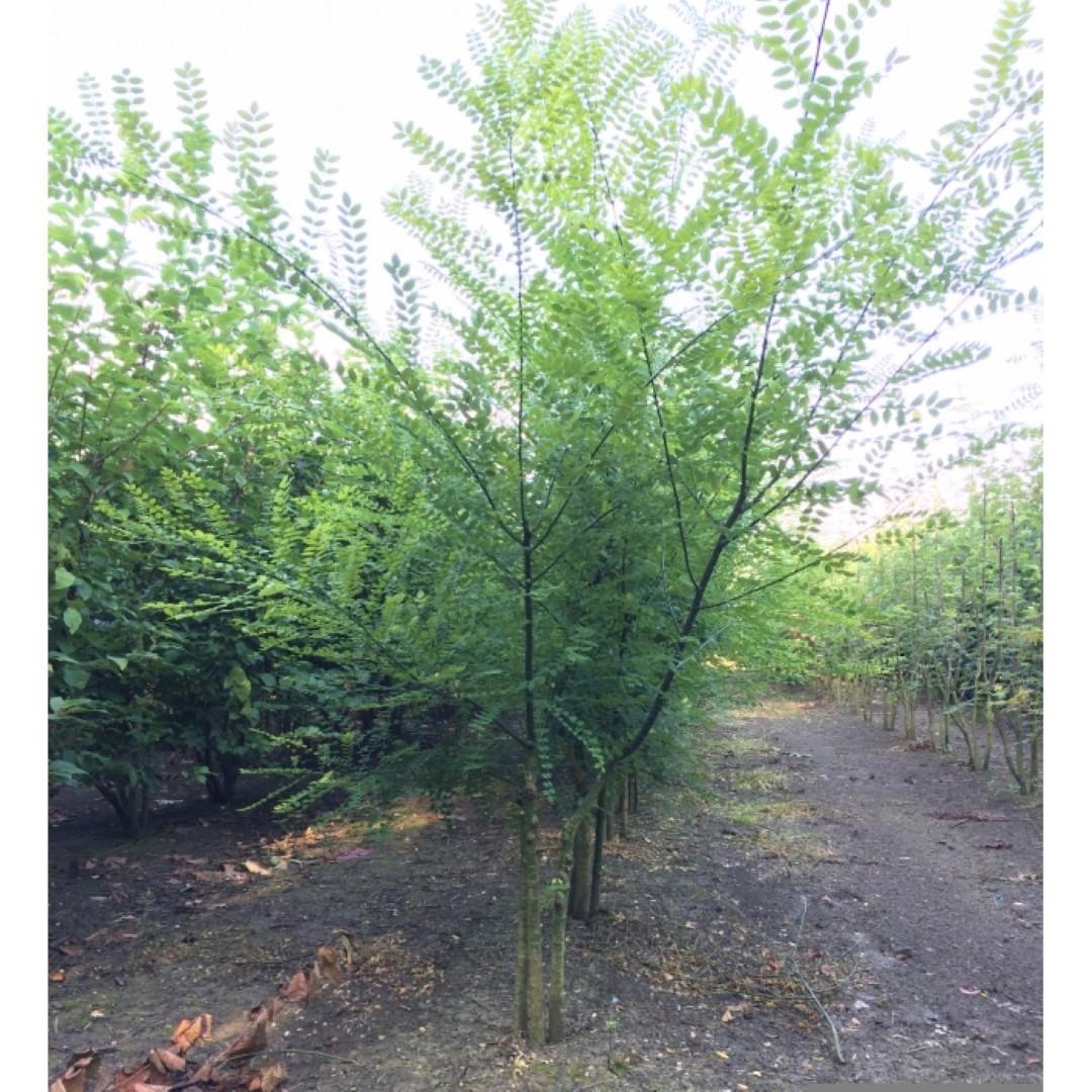 Honingboom meerstammig Sophora japonica h 137,5 cm