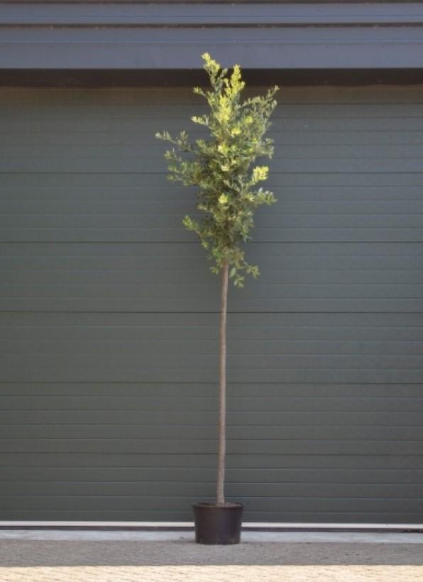 Steeneik Quercus ilex h 325 cm st. omtrek 13 cm st. h 190 cm