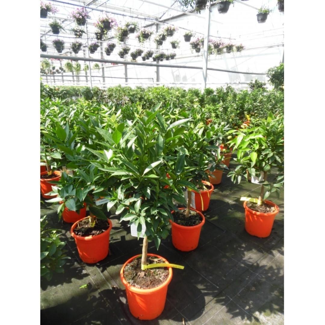 Sinaasappelboom Citrus sinensis h 110 cm st. omtrek 7,5 cm