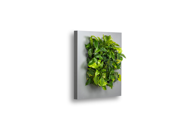 Levende Plantenschilderij LivePicture 1 zilvergrijs 72 x 72 x 7 cm incl. planten