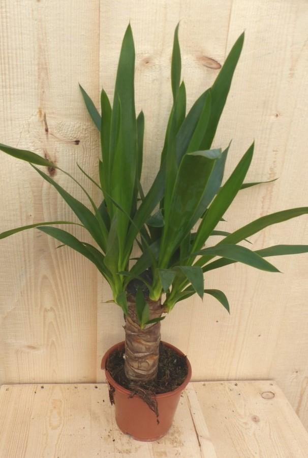 Kamerplant Yucca 60 cm