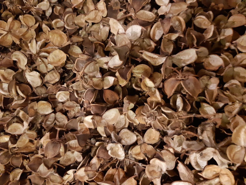 Cotton pods bruin 1 schep