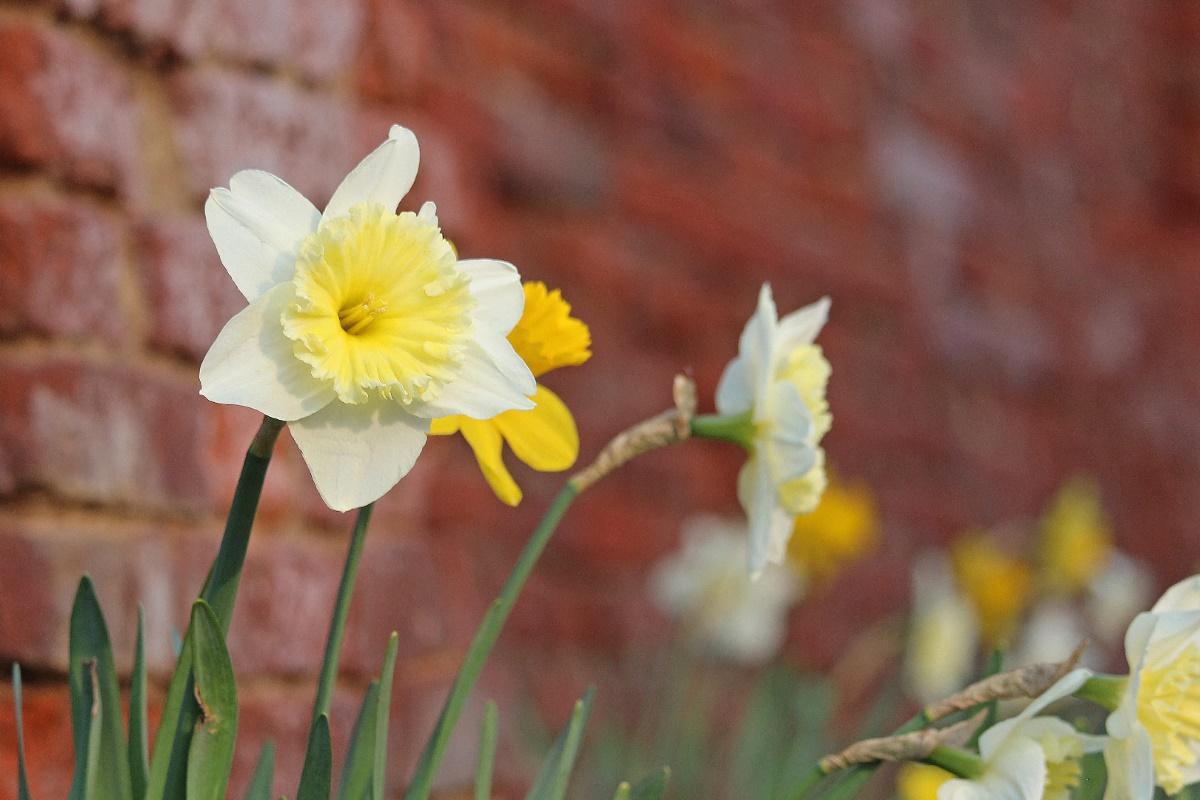 Voorjaarsstukje met narcissen